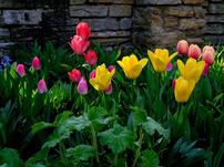 In april zijn er veel tulpen.